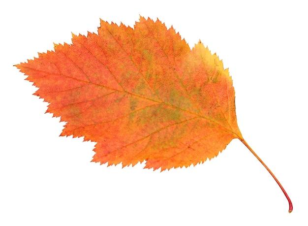 Uma folha de espinheiro-alvar outono isolada em um fundo branco com traçado de recorte.
