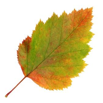 Uma folha de espinheiro-alvar outono isolada em um fundo branco. herbário, folhas caídas.
