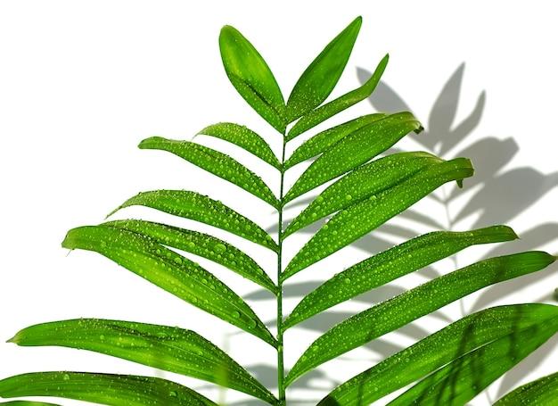 Uma folha de palmeira verde com gotas de água da chuva isoladas em branco