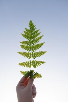 Uma folha de samambaia verde em uma mão feminina