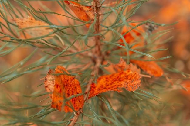 Uma folha de vidoeiro amarelo arrancada de uma árvore encontra-se em agulhas verdes com gotas de chuva em uma floresta escura na chuva. conceito de outono.