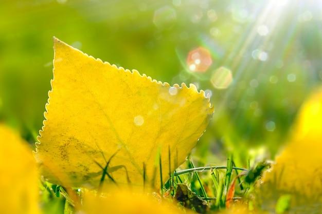 Uma folha dourada de outono caída na grama ao sol da manhã