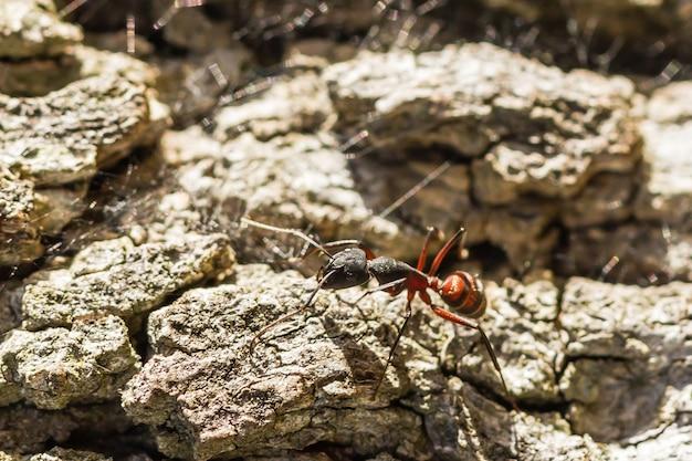 Uma formiga vermelha e preta no chão de pedra