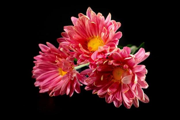 Uma foto de close up de um ramo de flores de crisântemo rosa escuro com centros amarelos e pontas brancas em suas pétalas. aglomerado de flores de crisântemo roxas rosa.
