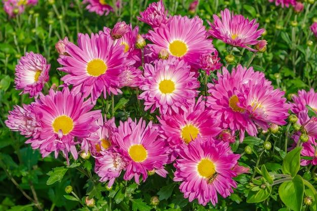 Uma foto de close-up de um ramo de flores de crisântemo rosa escuro com centros amarelos. um bouquet muito colorido e vivo.