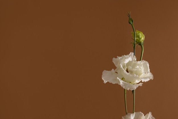 Uma foto de close up de uma natureza morta de flor branca eustoma em composição estética de fundo marrom pastel