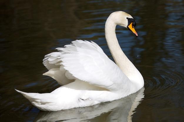 Uma foto de um cisne em liberdade
