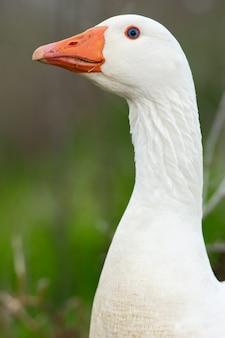 Uma foto de um pato em liberdade