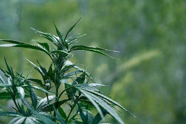 Uma foto do close up de uma planta verde de cannabis