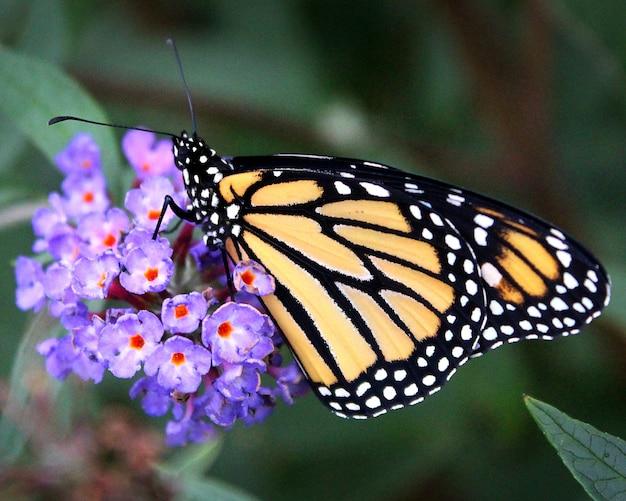 Uma foto em close da borboleta monarca em flores roxas