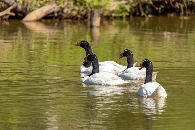 Uma frota de patos brancos nadando em linha reta no lago verde.