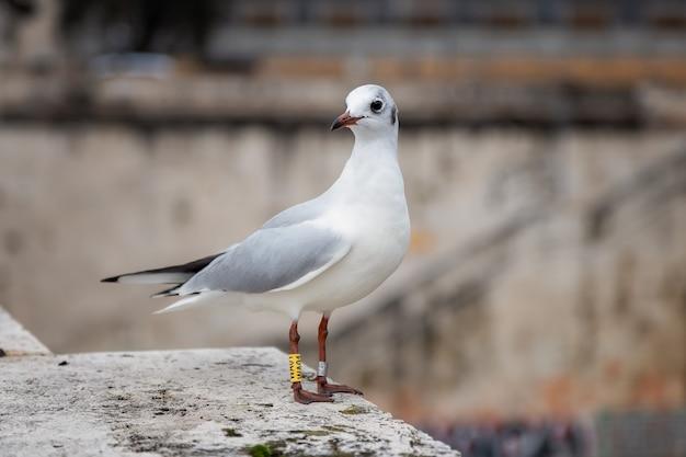 Uma gaivota anelada em uma antiga ponte de pedra em roma
