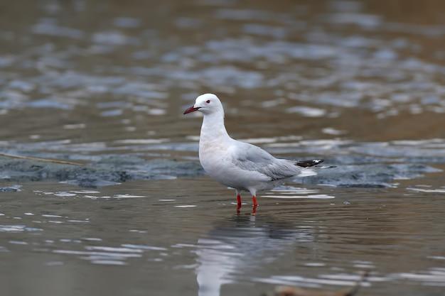 Uma gaivota-de-bico-fino adulta (chroicocephalus genei) está na água