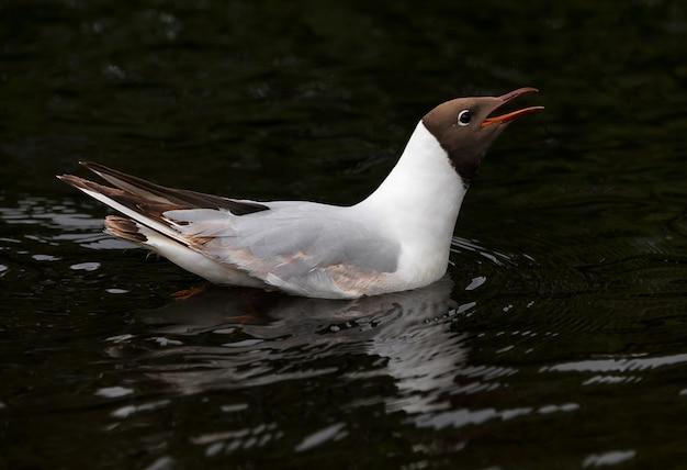 Uma gaivota de cabeça negra nada em uma lagoa da cidade