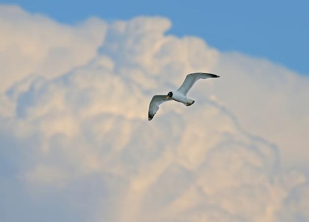 Uma gaivota de pallas ou grande gaivota de cabeça preta (ichthyaetus ichthyaetus) e uma nuvem turva gigante