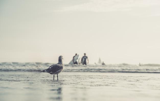 Uma gaivota em uma praia pública à beira-mar, observando as pessoas tomando banho e surfistas