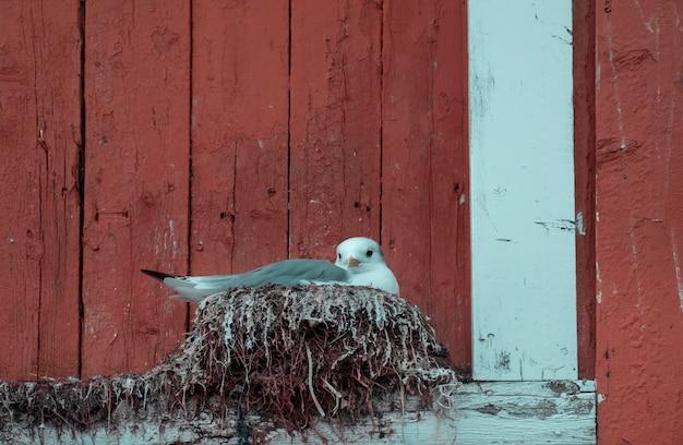 Uma gaivota fez um ninho em uma tradicional casa de madeira vermelha em algum lugar da escandinávia