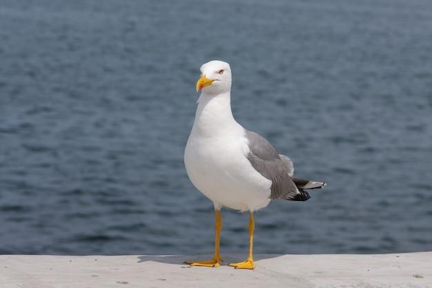 Uma gaivota linda e graciosa olha para a câmera e se apresenta como uma modelo. retrato de uma gaivota à beira-mar, close-up.