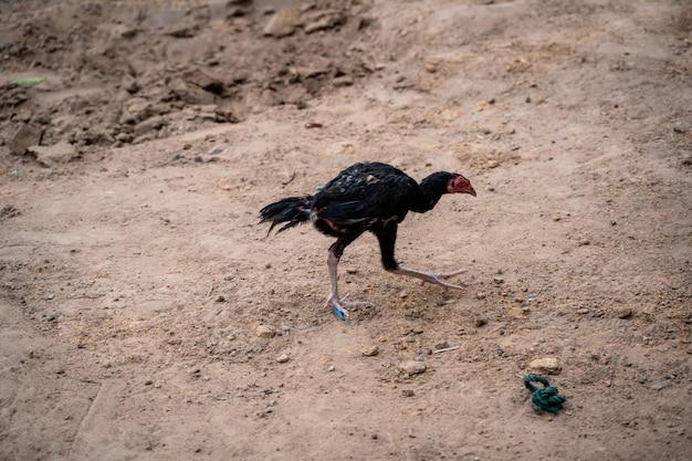 Uma galinha do campo andando no chão para encontrar comida na manhã.