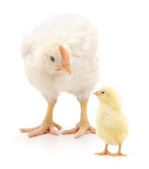 Uma galinha e um frango estão em um fundo branco