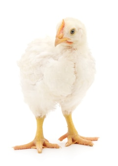 Uma galinha está em um fundo branco