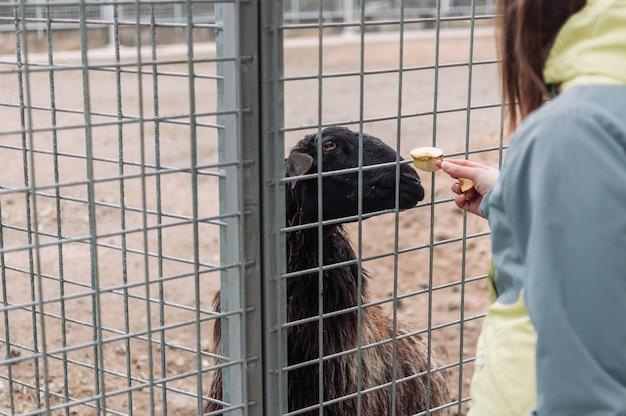 Uma garota alimenta uma ovelha marrom com maçãs por meio de uma rede em uma gaiola. o mamífero está no zoológico.