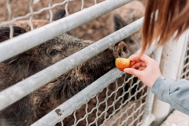 Uma garota dá uma maçã a um javali, que está localizado atrás da cerca do zoológico.