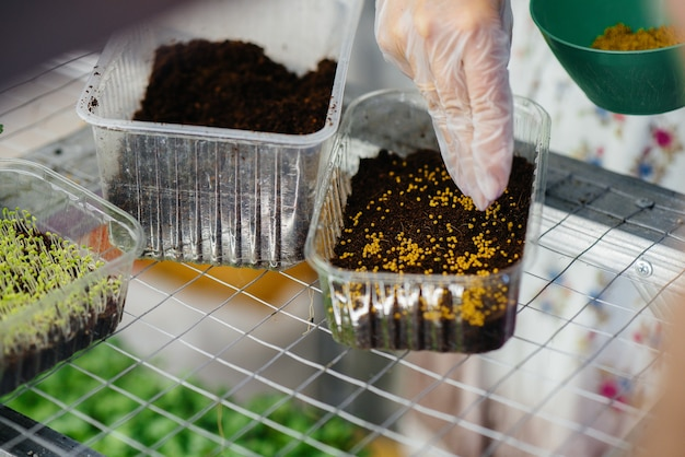 Uma garota planta sementes de micro close-up de verdes em uma estufa moderna. dieta saudável.