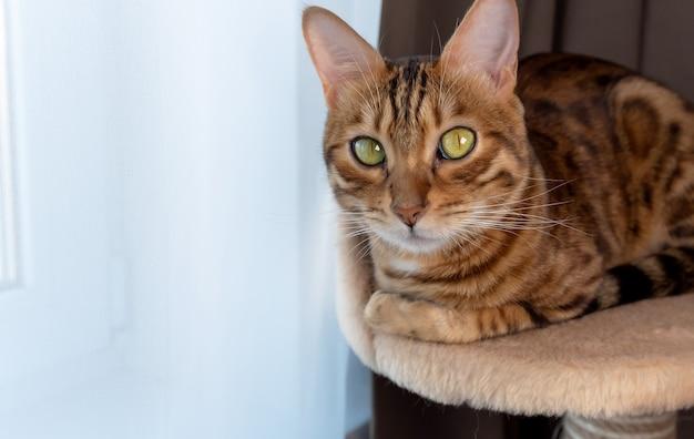 Uma gata de bengala deitada em uma cesta pela manhã perto de uma grande janela