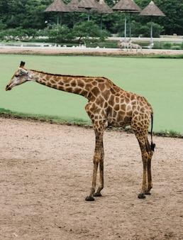 Uma girafa em um parque ao ar livre