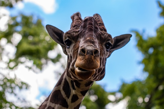 Uma girafa na frente de algumas árvores verdes.