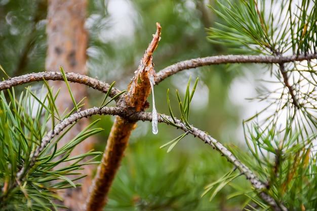 Uma gota de resina flui de um galho de pinheiro quebrado.