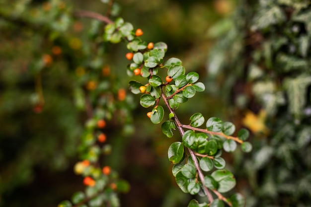 Uma grandada vermelha pequena que pendura em um ramo com folha verde. romã madura cresce em uma árvore