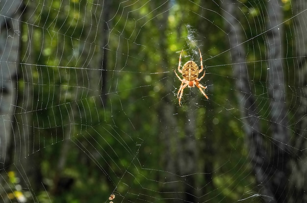 Uma grande aranha com um padrão em uma teia luminosa na floresta. superfície de halloween, vírus na internet