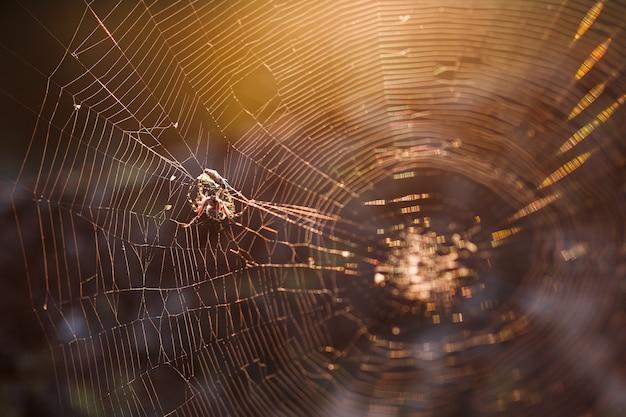 Uma grande aranha tecelã marrom em sua teia caça sua presa. insetos predadores