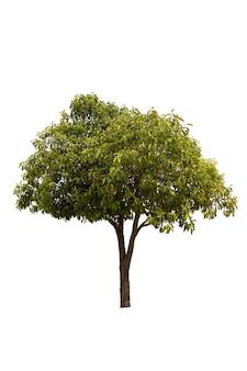 Uma grande árvore isolada no branco