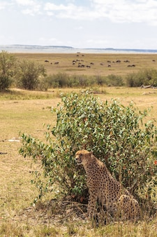 Uma grande chita atrás de uma planície de arbusto do serengeti na áfrica