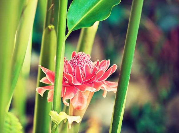 Uma grande e bela flor exótica rosa está crescendo nos trópicos selvagens. fotografia macro. ainda vida. ásia do sul, tailândia.