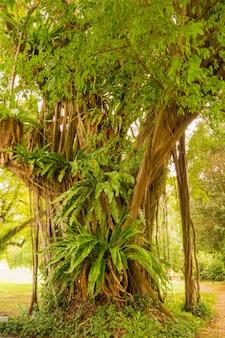 Uma grande figueira com muitas plantas diferentes cresce em suas raízes