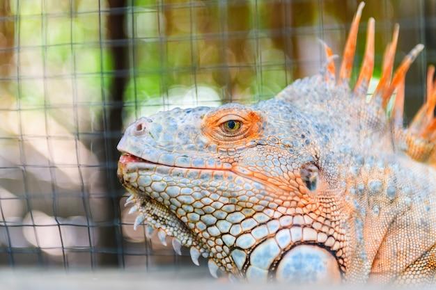 Uma grande iguana laranja. tiro na cabeça, conceito de animal de estimação
