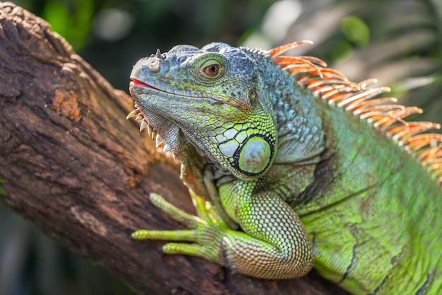 Uma grande iguana verde está deitado em um galho de árvore