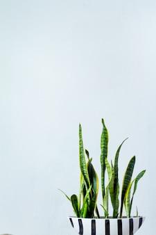 Uma grande planta sansevieria em uma longa panela branca preta fica em frente à parede textural branca
