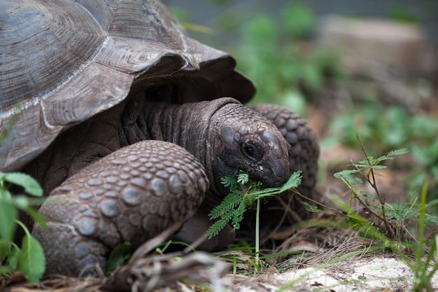 Uma grande tartaruga entre o gras