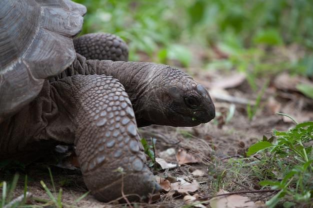 Uma grande tartaruga entre os gras