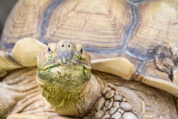 Uma grande tartaruga terrestre