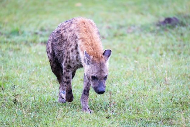Uma hiena caminha na savana em busca de comida