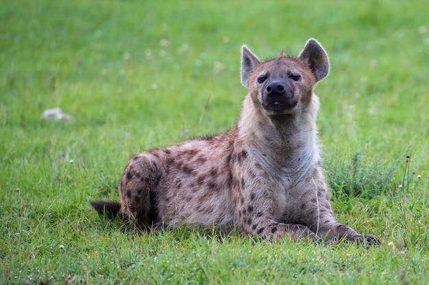 Uma hiena está deitada na grama na savana do quênia