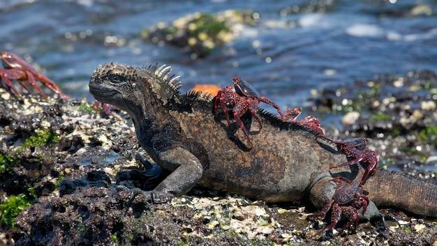 Uma iguana marinha com um caranguejo vermelho nas costas está sentada em uma pedra