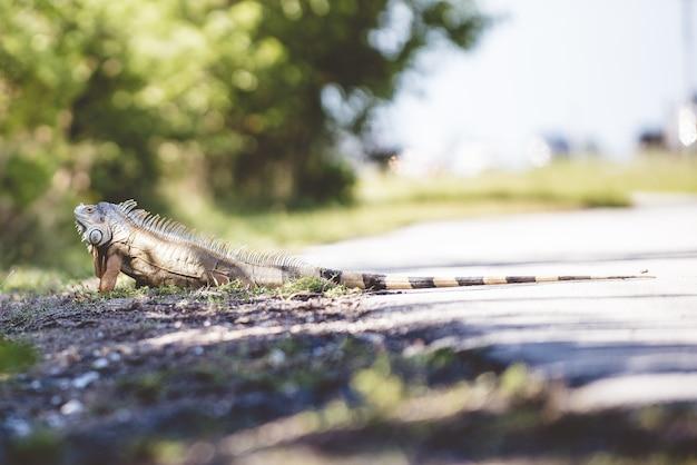 Uma iguana no chão