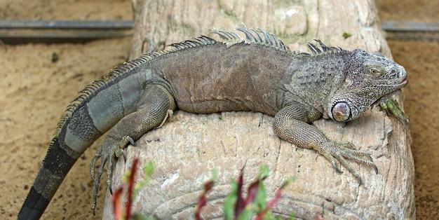 Uma iguana posa para o seu retrato